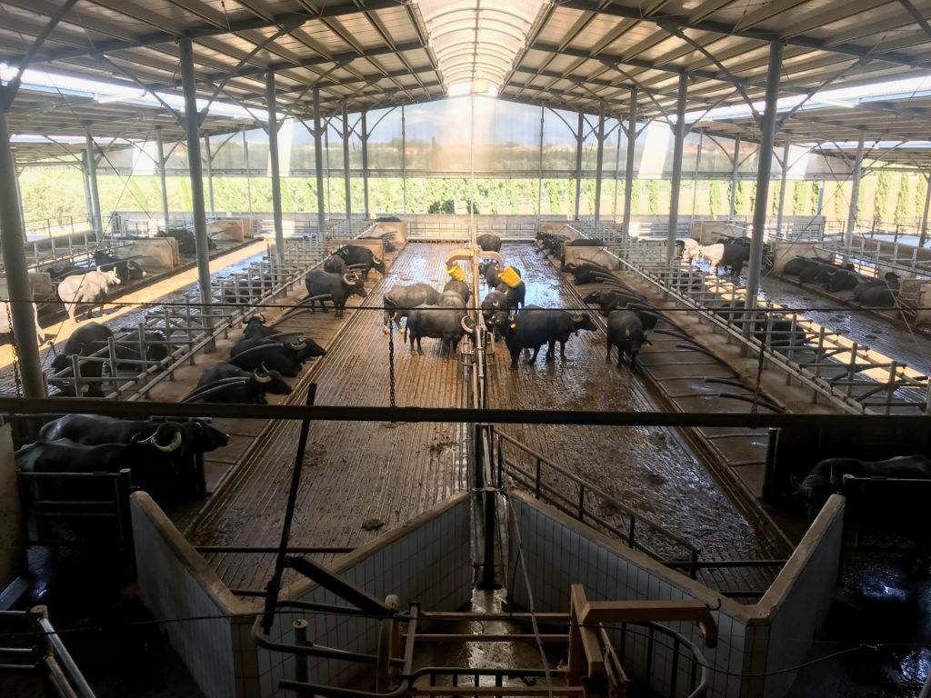 Gli allevamenti della Tenuta Vannulo e le loro bufale