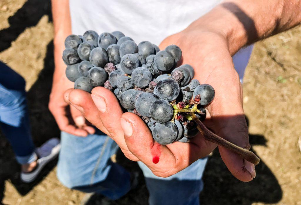 Il Perricone, vitigno a bacca rossa della Sicilia