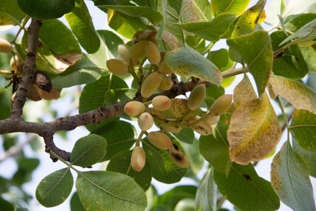 pistacchio di raffadali - eccellenza siciliana