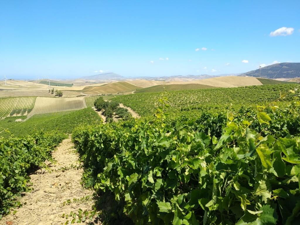 Consorzio di tutela vini Doc Sicilia: previsioni di una buona annata